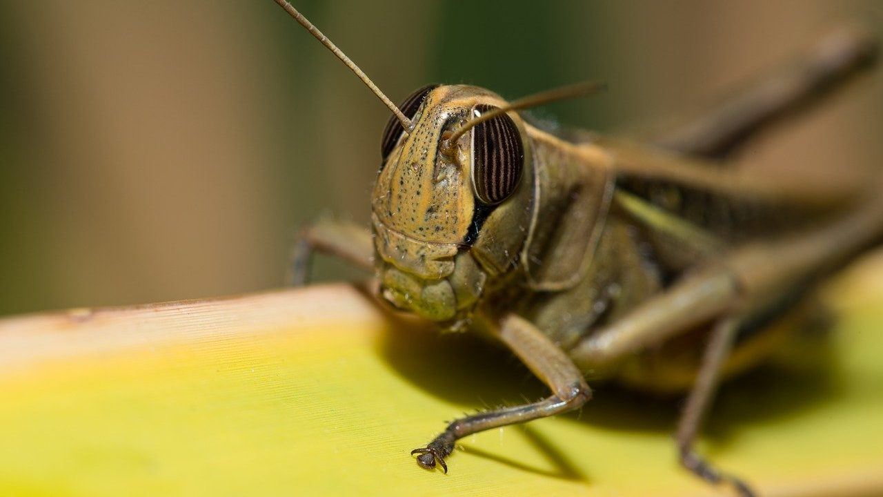 tiddi-dal-ka-akraman-tiddi-dal-photo-hindi-tiddi-images-locust (2)