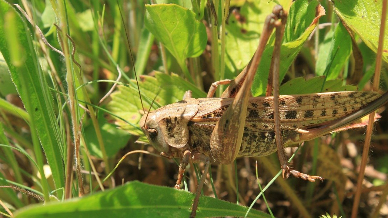 tiddi-dal-ka-akraman-tiddi-dal-photo-hindi-tiddi-images-locust (3)