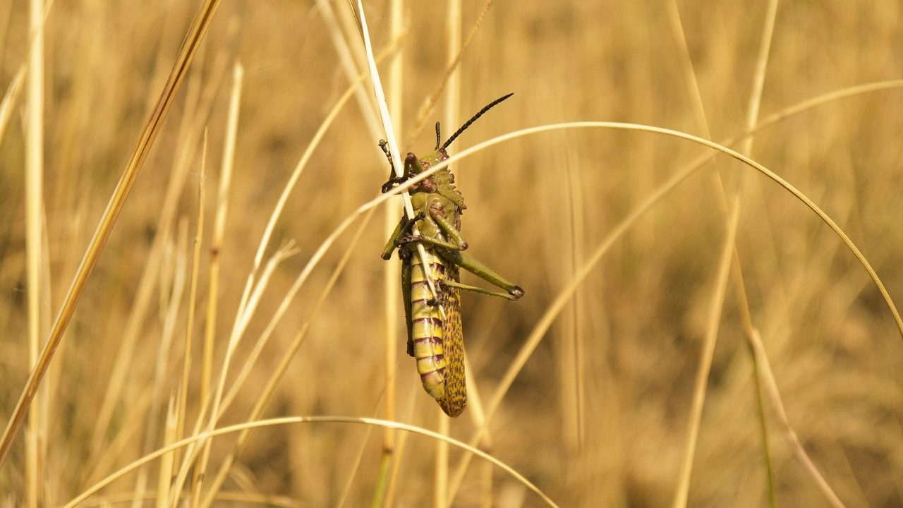 tiddi-dal-ka-akraman-tiddi-dal-photo-hindi-tiddi-images-locust (4)