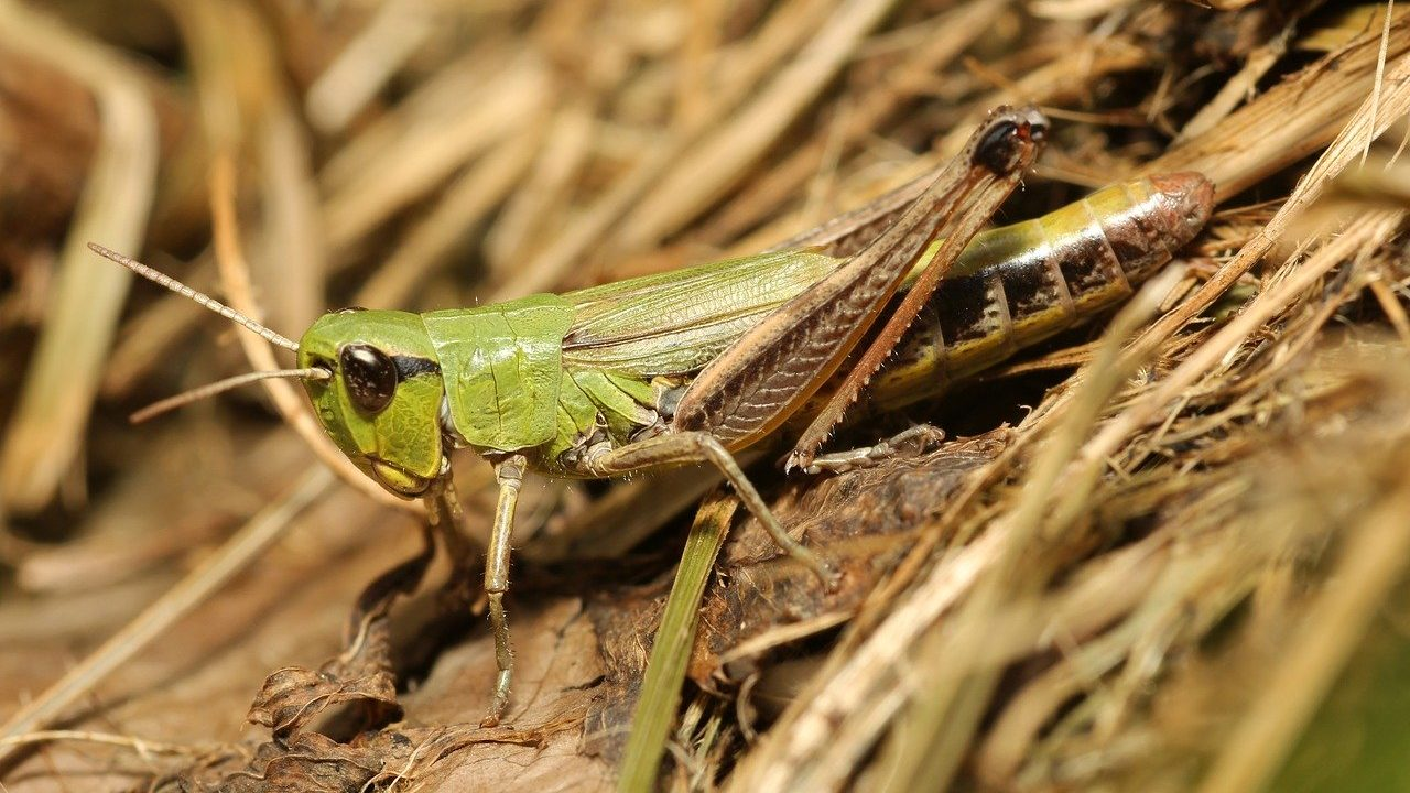 tiddi-dal-ka-akraman-tiddi-dal-photo-hindi-tiddi-images-locust (6)