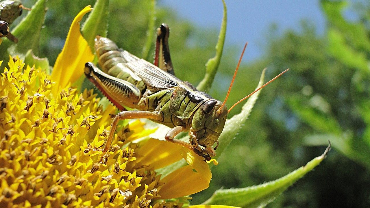 tiddi-dal-ka-akraman-tiddi-dal-photo-hindi-tiddi-images-locust (7)