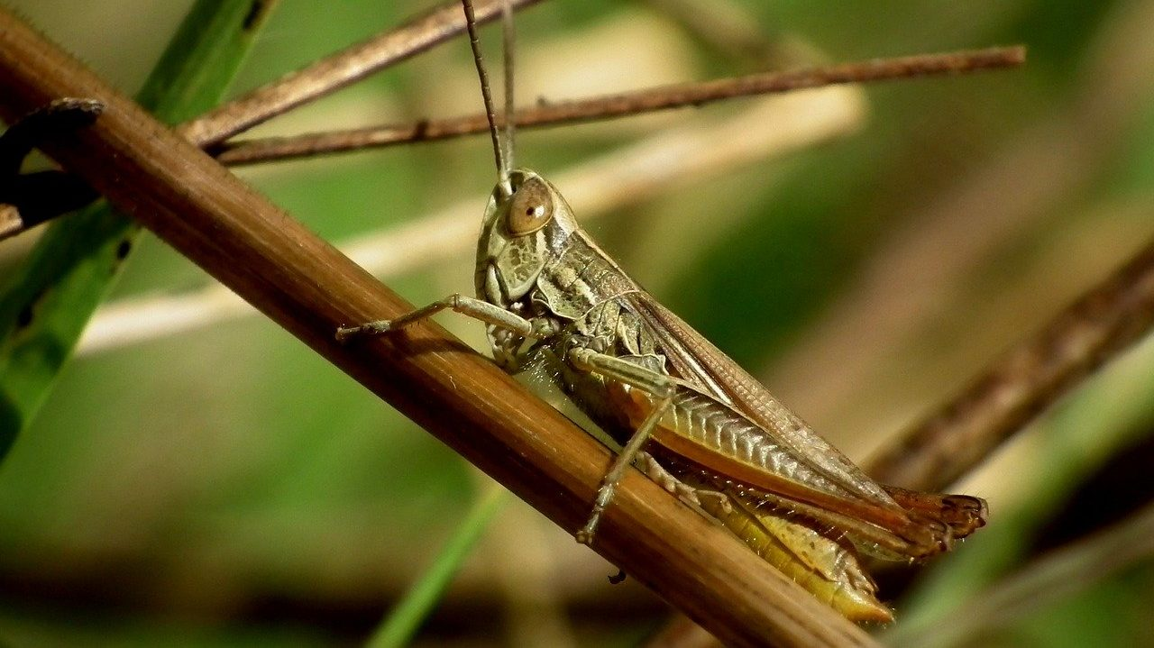 tiddi-dal-ka-akraman-tiddi-dal-photo-hindi-tiddi-images-locust (9)
